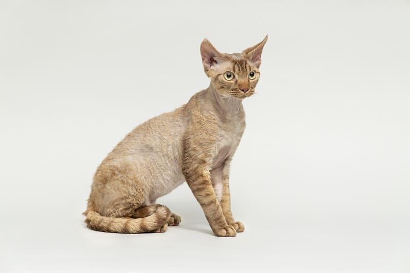 Are Devon Rex Cats Hypoallergenic?