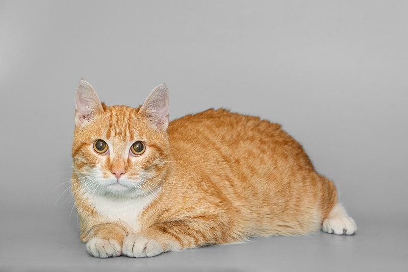 Are Domestic Shorthair Cats Hypoallergenic