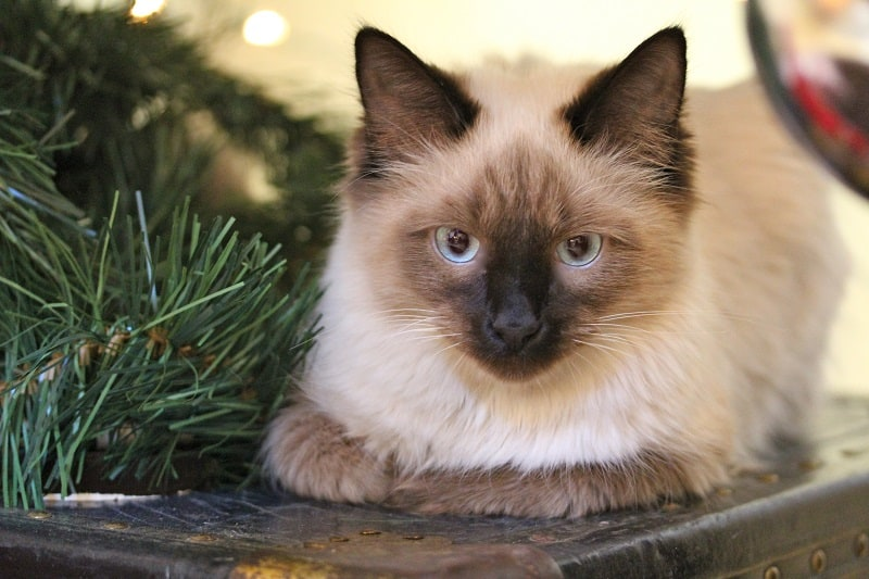 Are Himalayan cats hypoallergenic