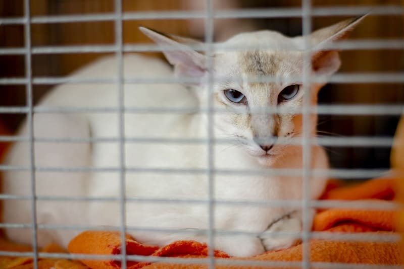 Are Javanese Cats Hypoallergenic