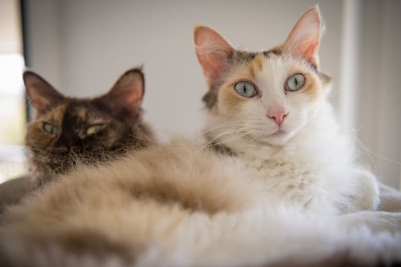 Are LaPerm Cats Hypoallergenic