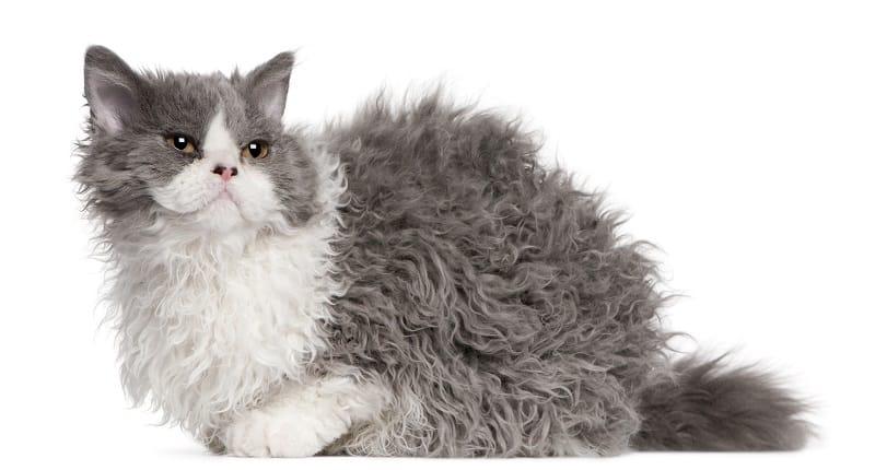 Are Lambkin Cats Hypoallergenic