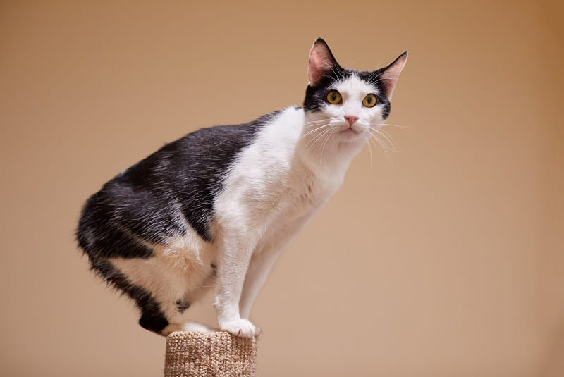 Are Manx Cats Hypoallergenic