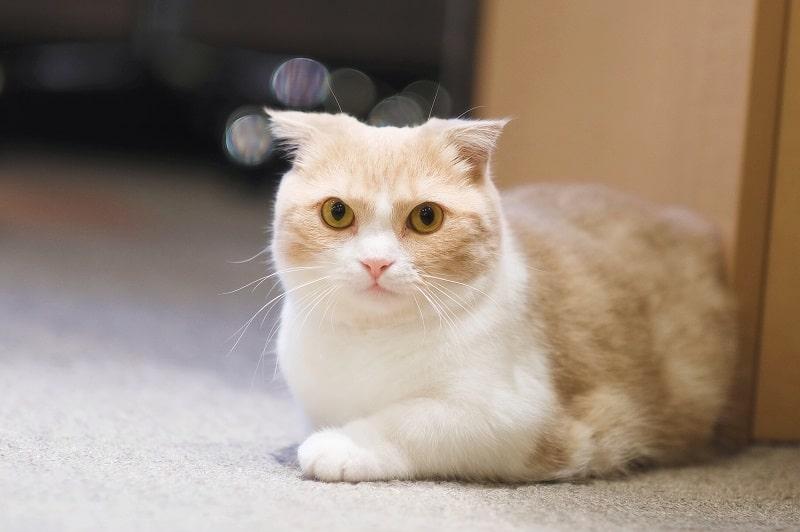 Are Munchkin Cats Hypoallergenic