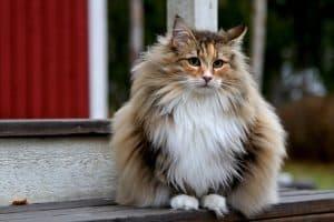 Are Norwegian Forest Cats Hypoallergenic