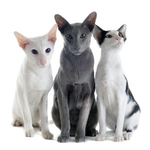 Are Oriental Shorthair Cats Hypoallergenic?