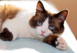 Are Snowshoe Cats Hypoallergenic
