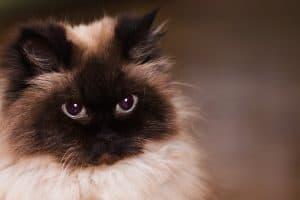 Are Tibetan Cats Hypoallergenic