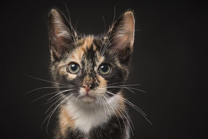 Are Tortoiseshell Cats Hypoallergenic?