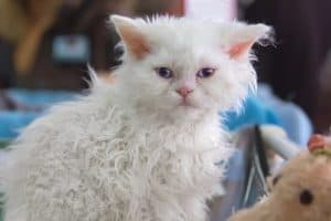 Are poodle cats hypoallergenic