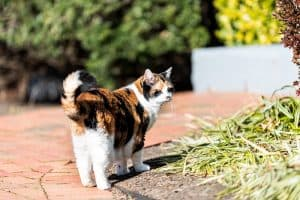 Cat Wagging Tail While Purring