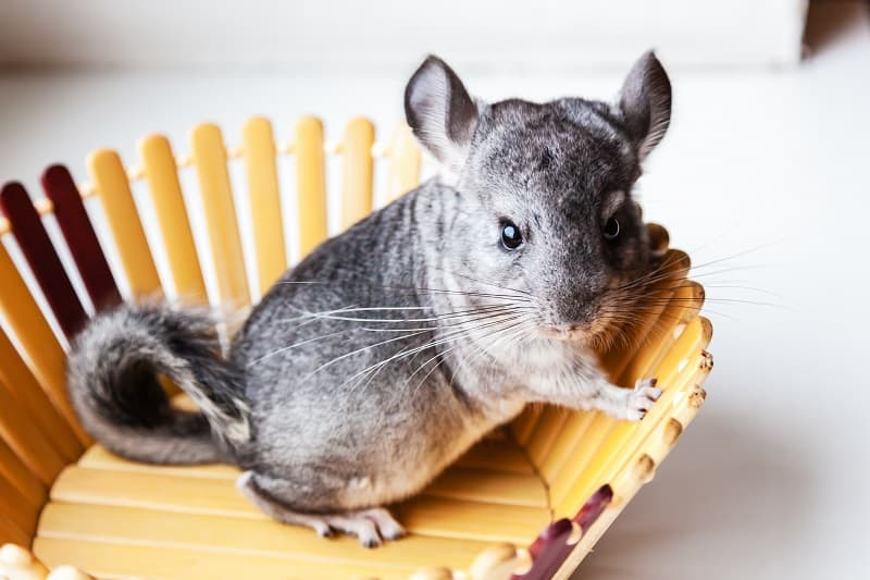 Chinchillas And Cats