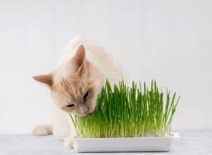 How Do I Grow Cat Grass Without Soil?