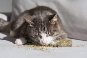 How Long Does Catnip Last