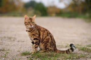 When Do Bengal Cats Stop Growing