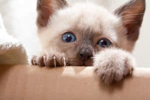 When Do Kittens Learn To Retract Their Claws?