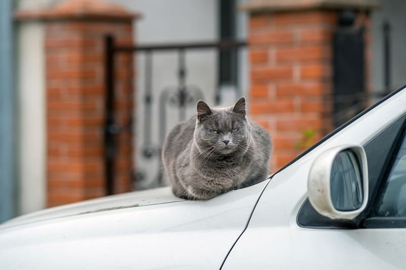 Why Do Cats Hate Car Rides?
