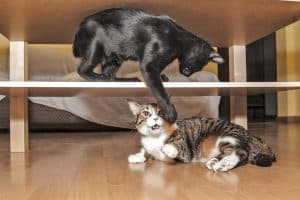 Younger Cat Bullying Older Cat