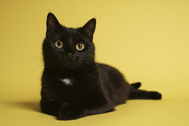 Are Black Cats Hypoallergenic