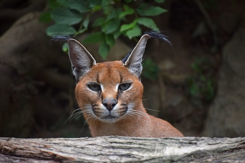 Are Caracal Cats Hypoallergenic?
