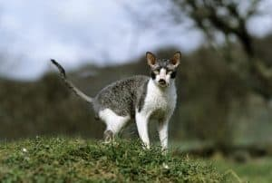Are Cornish Rex Cats Hypoallergenic?