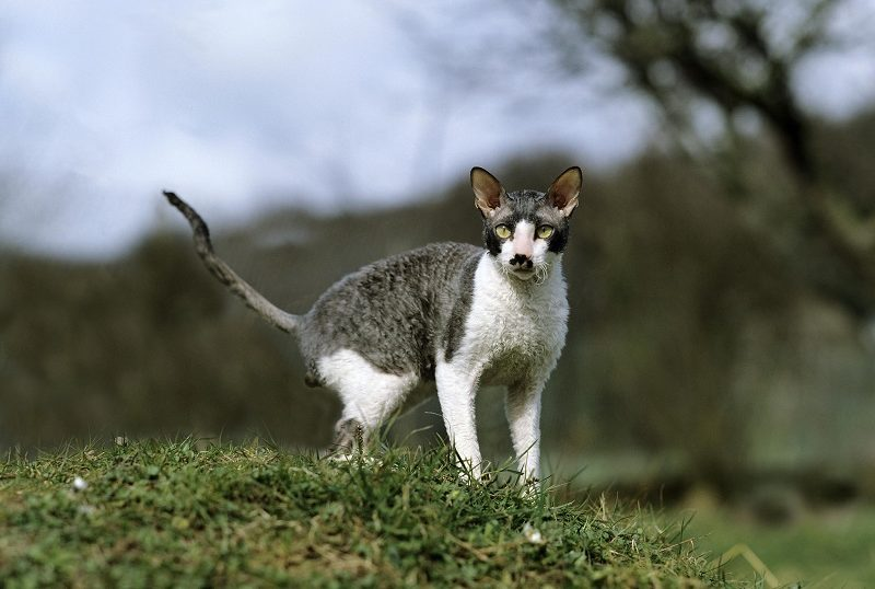 Are Cornish Rex Cats Hypoallergenic?