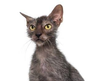 Are Lykoi Cats Hypoallergenic?