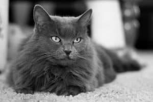 Are Nebelung Cats Hypoallergenic