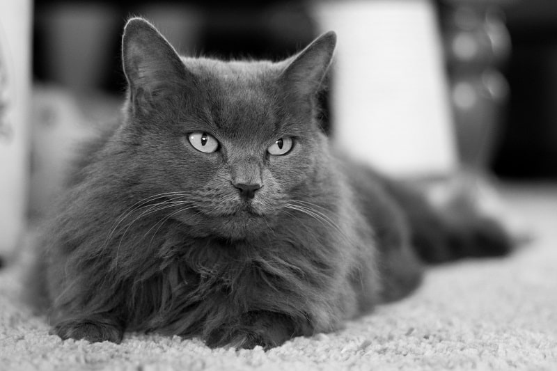 Are Nebelung Cats Hypoallergenic