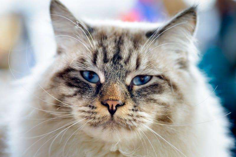 Are Ragamuffin Cats Hypoallergenic
