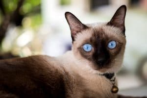 Are Siamese Cats Friendly