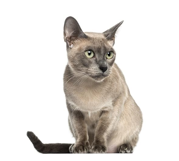 Are Tonkinese Cats Hypoallergenic?