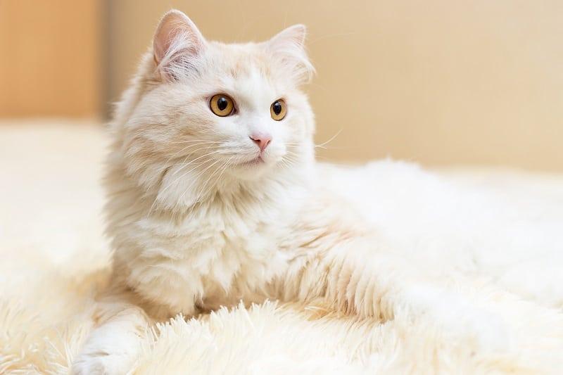 Are Turkish Angora Cats Hypoallergenic?