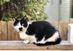 Are Tuxedo Cats Hypoallergenic?
