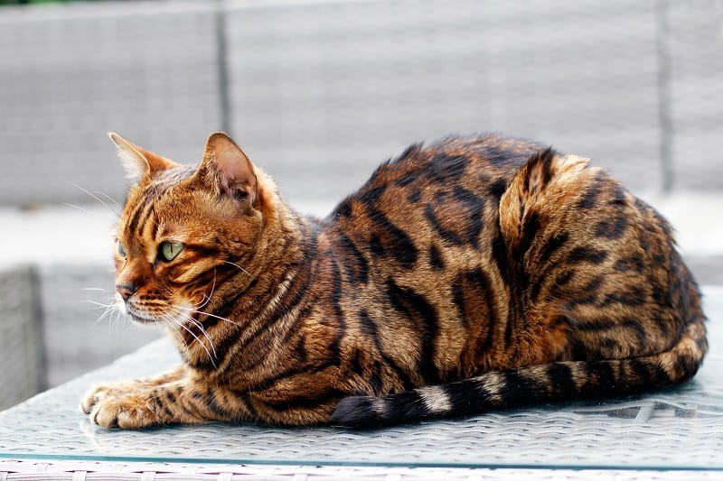 Bengal meanest