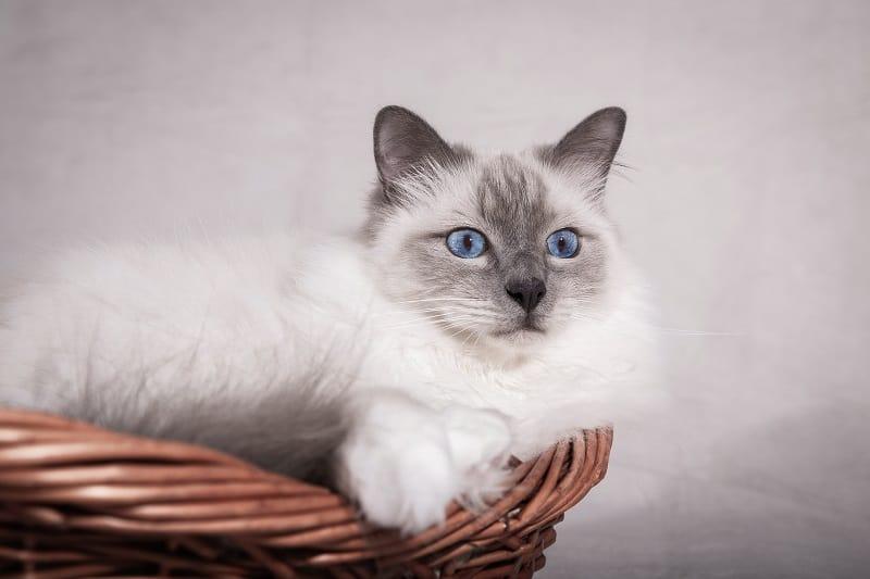 Do Birman Cats Shed?