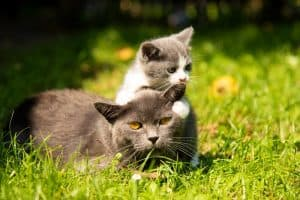 Do Male Cats Take Care Of Kittens?