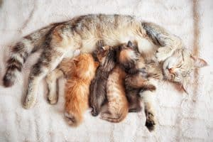 How Long Does It Take For A Mother Cat To Forget Her Kittens