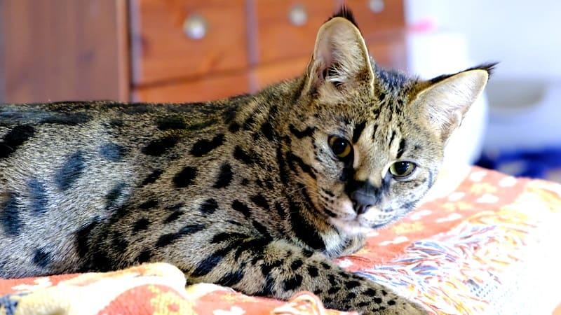 Savannah Cat meanest