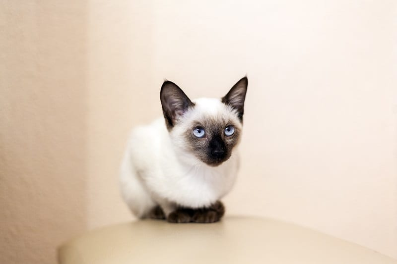Siamese meanest