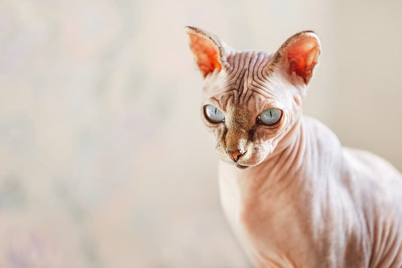 Sphynx meanest