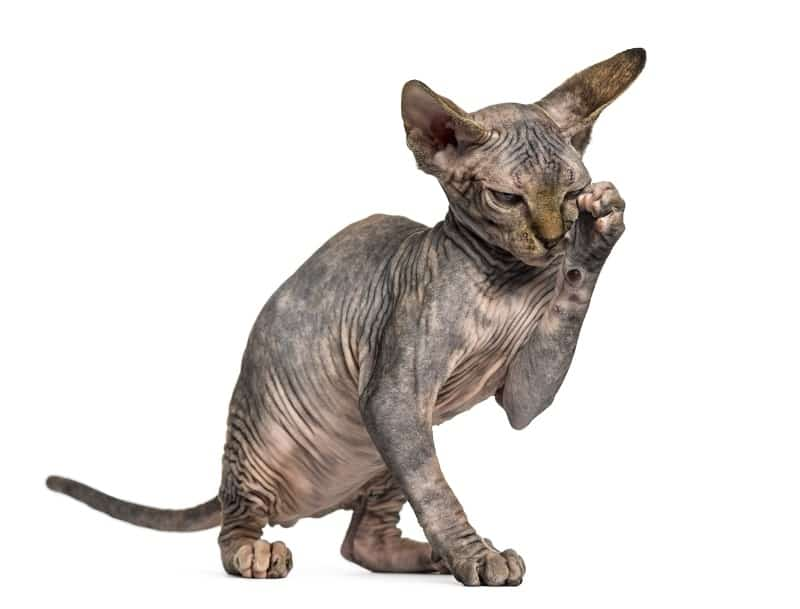 do hairless cats lick themselves