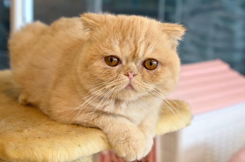 Are Exotic Shorthair Cats Hypoallergenic?
