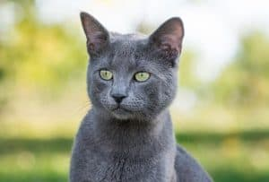 Do Russian Blue Cats Get Along With Other Cats