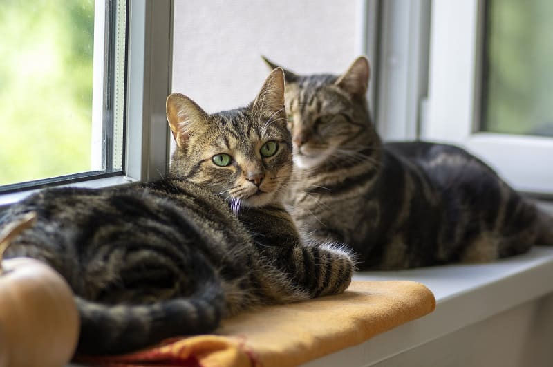 Do Tabby Cats Shed?