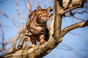 Pros And Cons Of Owning A Bengal Cat