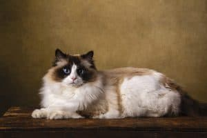 The Difference Between Ragdoll and Siamese Cats