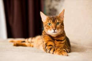 Are Bengal Cats Hypoallergenic