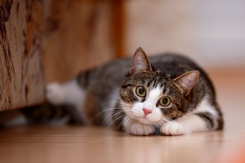 Can Cats Move Their Eyes?
