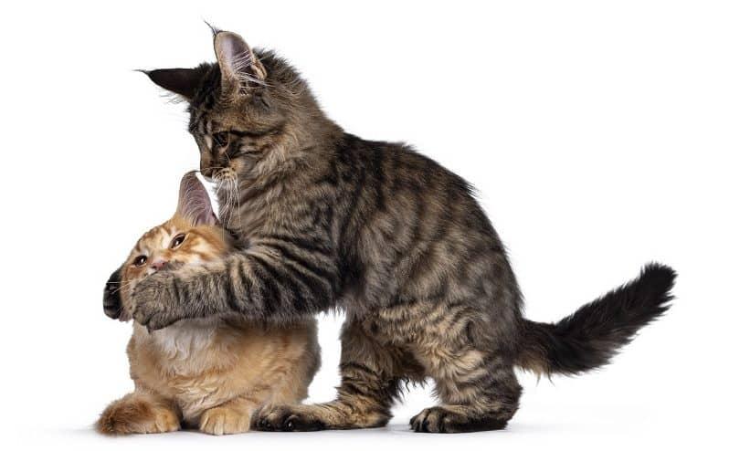 Kitten Attacks Older Cat